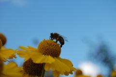 Pszczoły są piękne