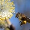 pszczoła 1