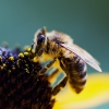 Pszczoła 3