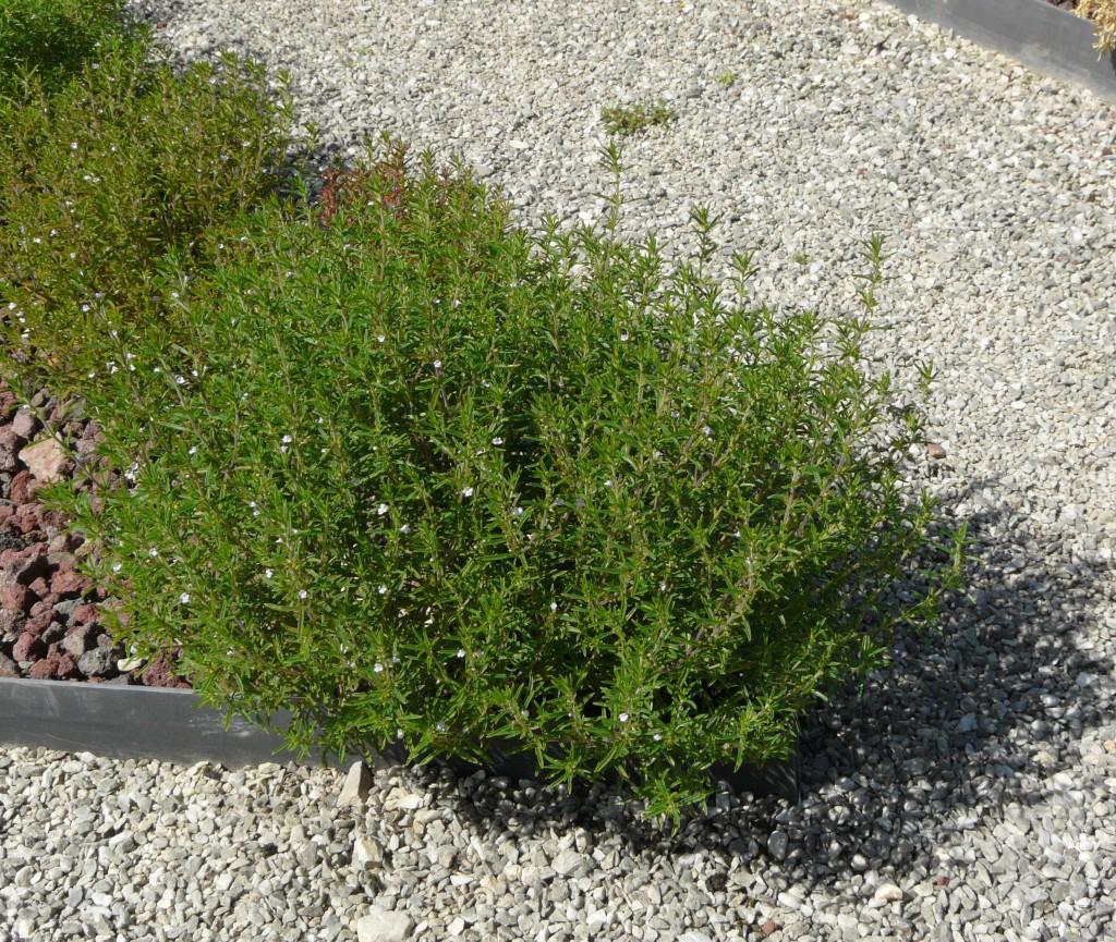 cząber ogrodowy 2