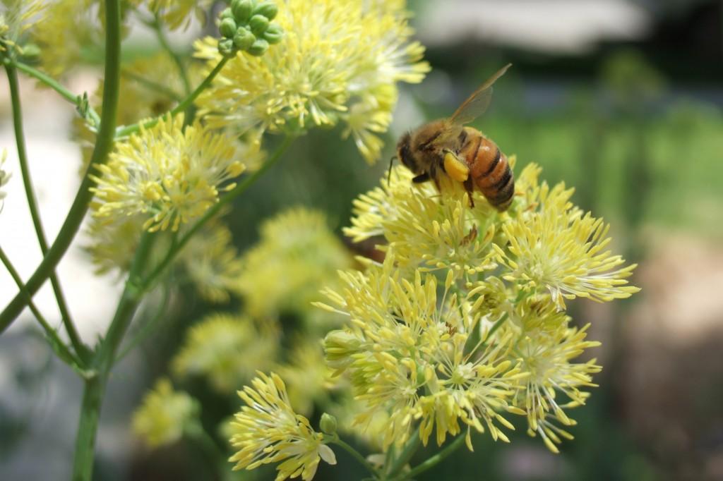 rutewka żółta 1