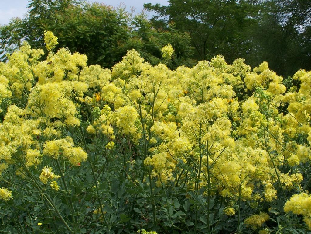 rutewka żółta 2